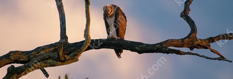 Resting Eastern Osprey