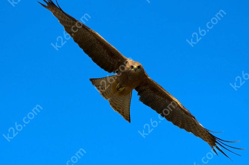 Locking eyes with a Black Kite