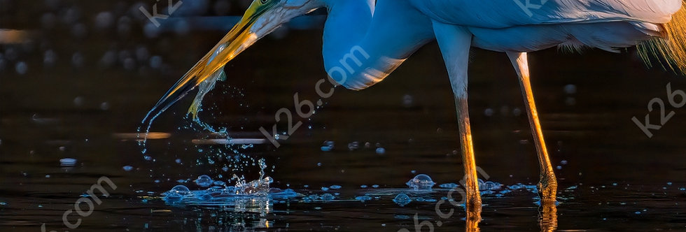 Eastern Great Egret catches a fish