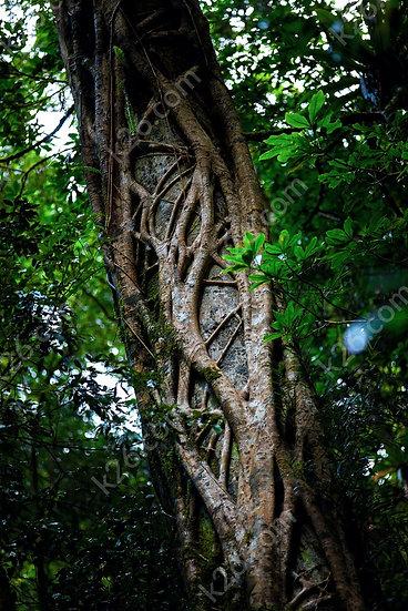 Gold Coast Hinterland tree