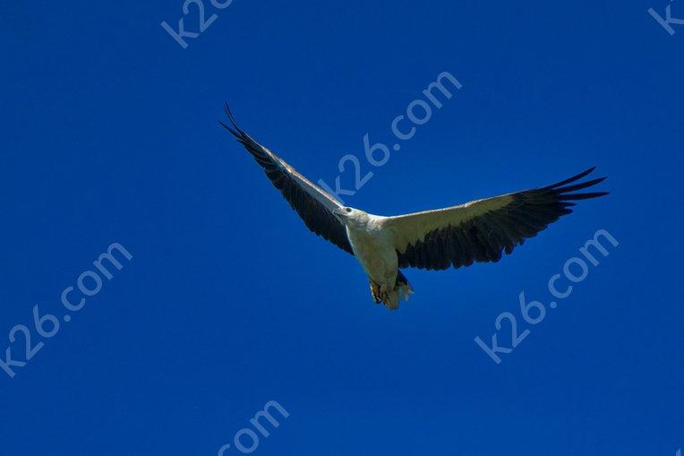 White-Bellied Sea-Eagle soars