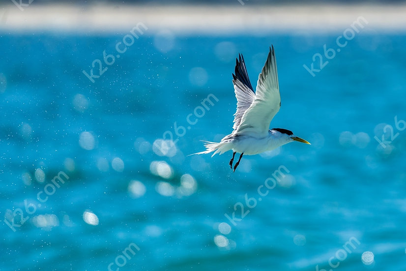 Tern at sea