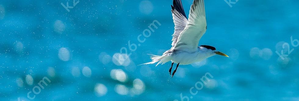 A Tern out for a fish near Currumbin Beach