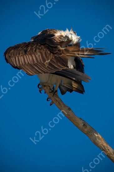 Shy Osprey;)