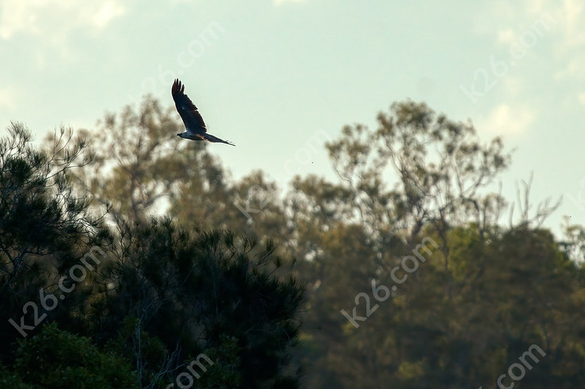 White-Bellied Sea-Eagle flying low