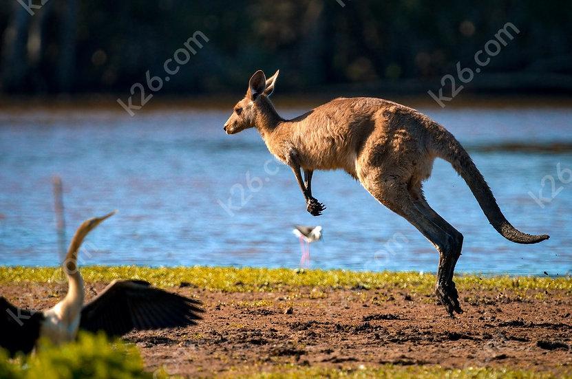 Kangaroo hop past an Australasian Darter