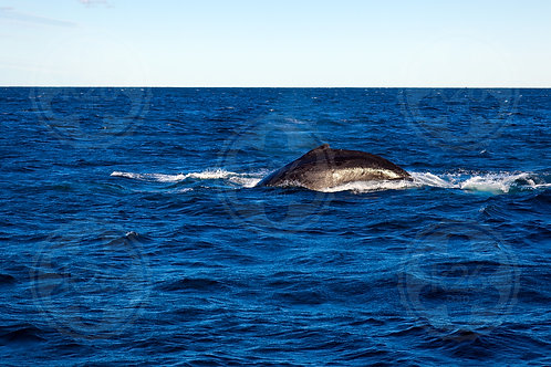 Humpback off Surfers Paradise