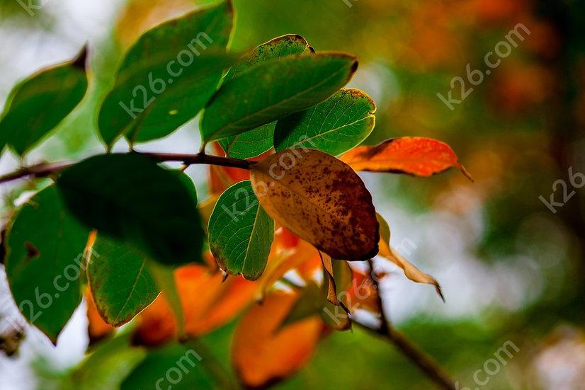 Mangrove leaves