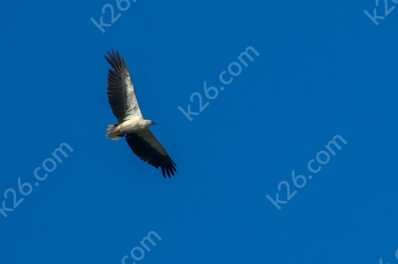 White-Bellied Sea-Eagle hunting