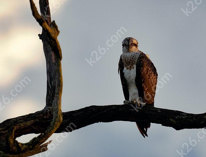 Eastern Osprey after the rain