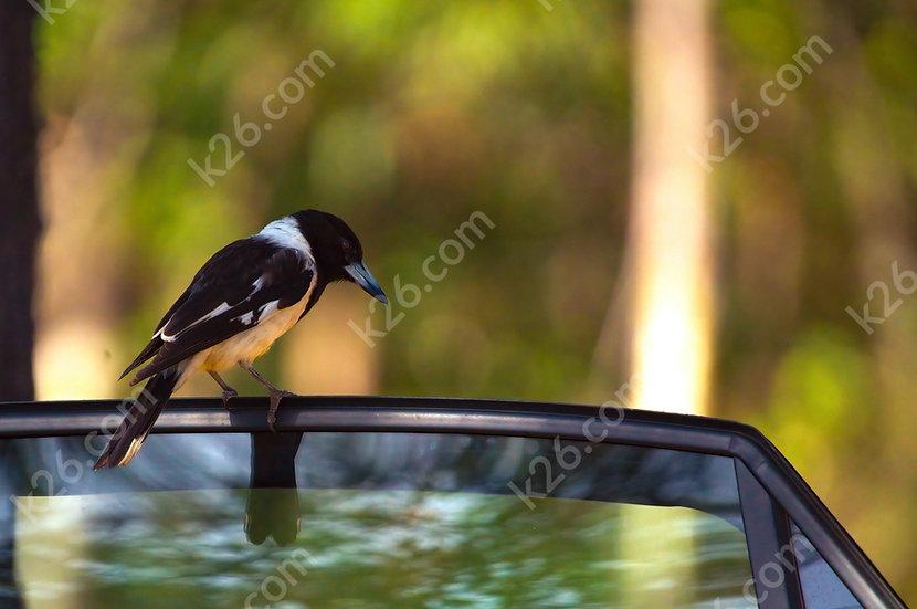Magpie visitor