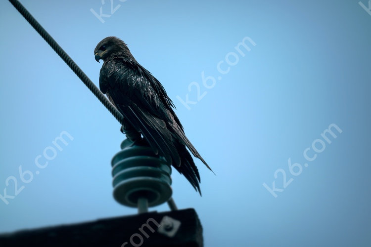 Wet Black Kite
