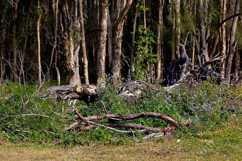 Kangaroo in the bush