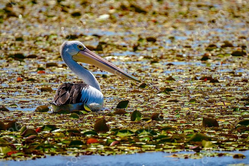 Waterway Pelican