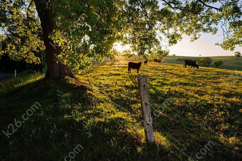 Binna Burra cows