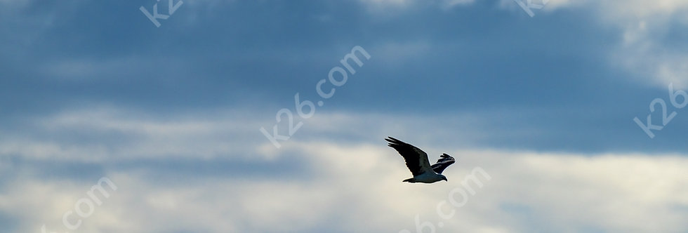 White-Bellied Sea-Eagle amongst the clouds