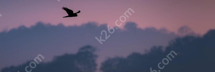 Swamp Harrier at sunset