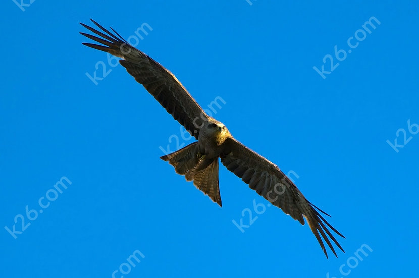 Black Kite on the prowl
