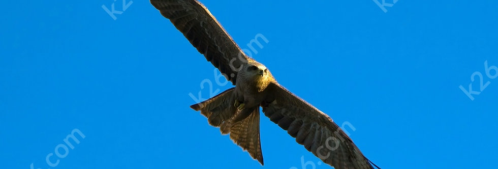 Black Kite on the prowl