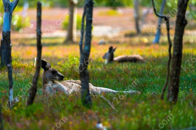 Kangaroos at rest