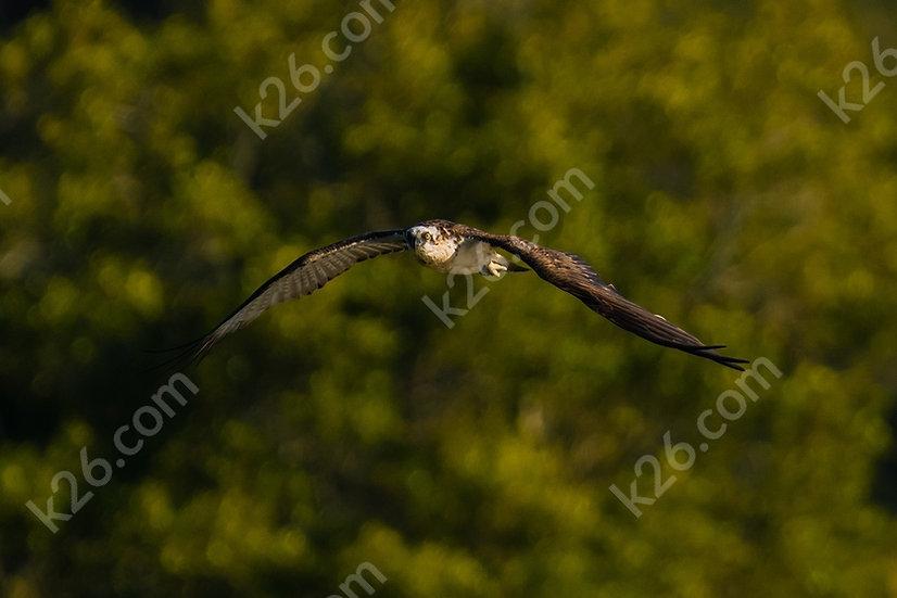 Osprey over a river
