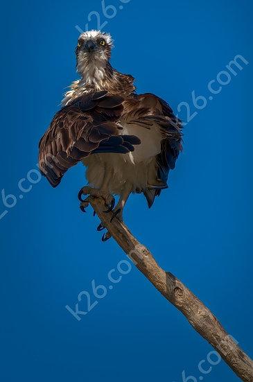 Hello Osprey