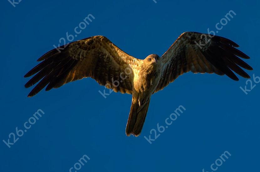 Whistling Kite at sunset