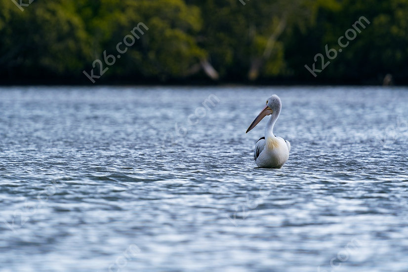 Pelican on the Broadwater