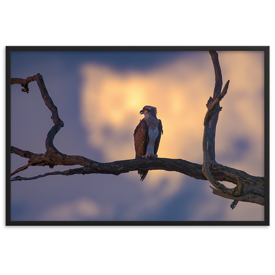 Eastern Osprey at sunset