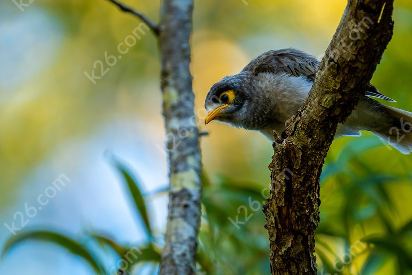 Inquisitive Noisy Miner