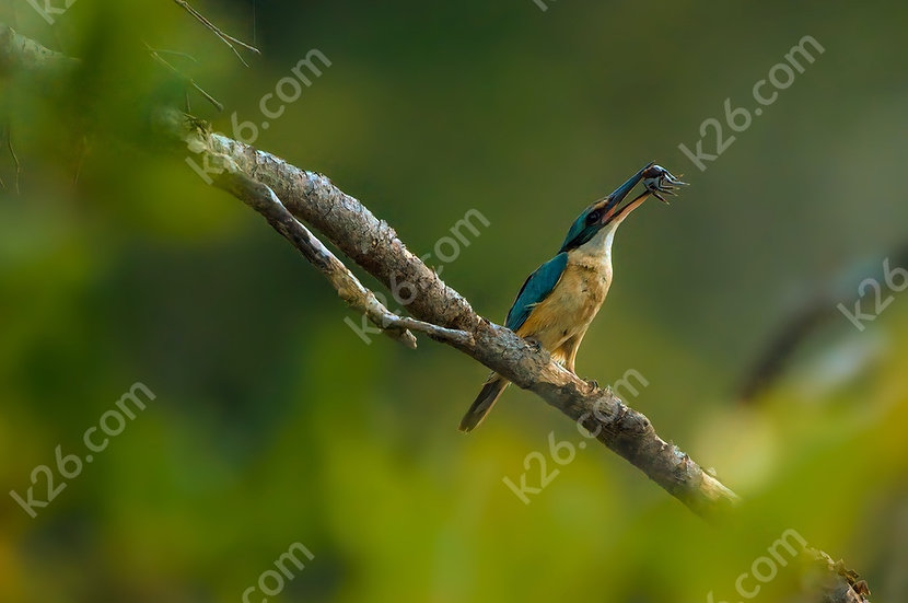 Sacred Kingfisher catches a crab