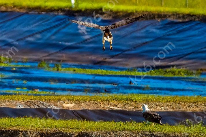 White-Bellied Sea-Eagle comes into land