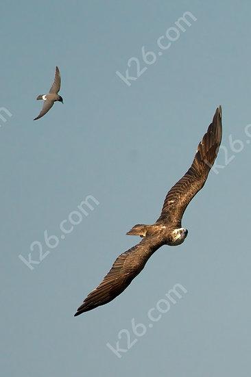 Osprey and friend