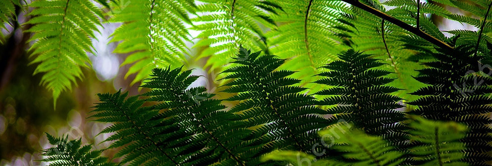 Ferns of the Hinterland