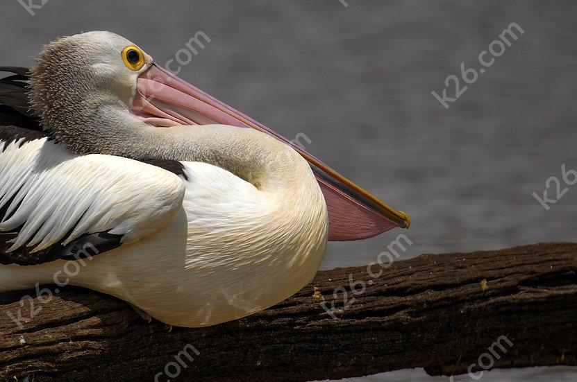 Resting Pelican