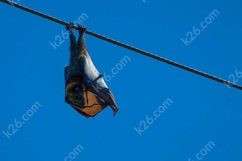 Bat hanging around