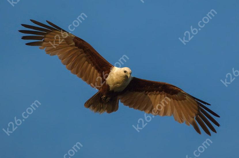 Low-flying Brahminy Kite