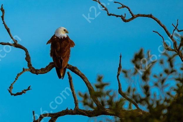 Brahminy Kite on a branch