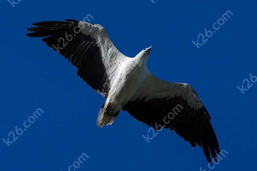 White-Bellied Sea-Eagle up close