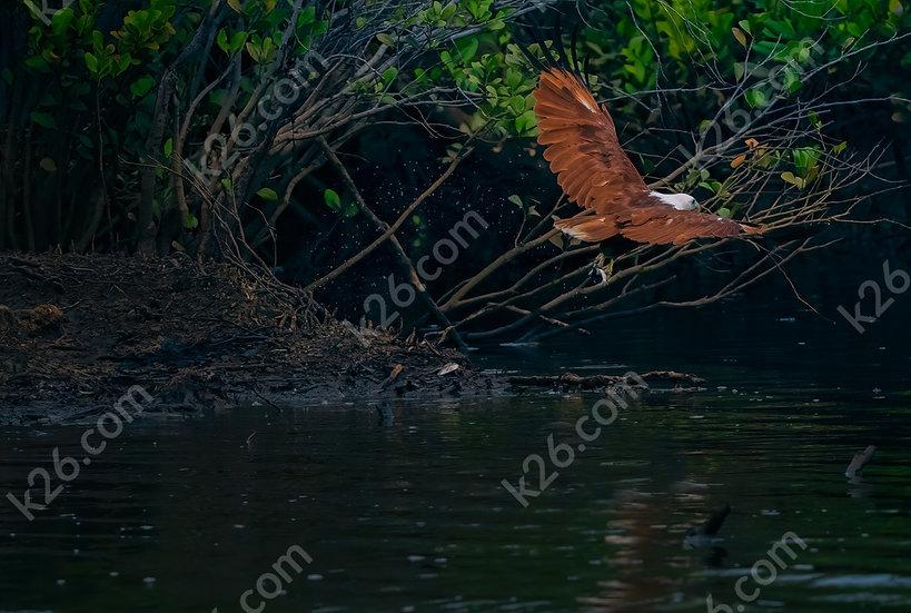 Brahminy Kite catching dinner