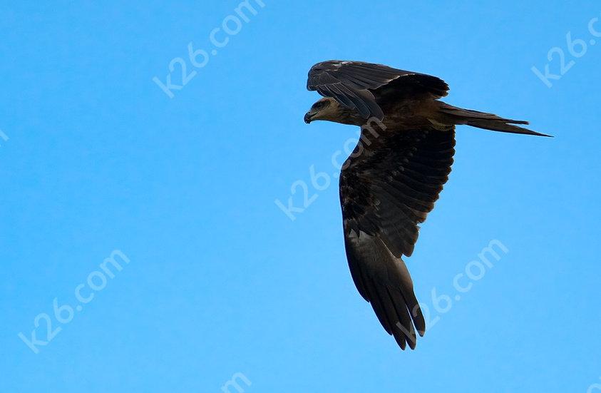 Black Kite on the hunt