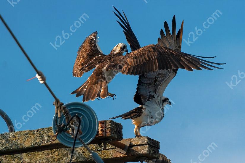 Ospreys take flight