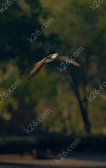 Eastern Osprey over a river