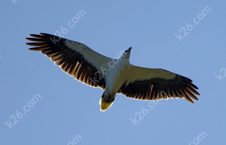 Overhead White-Bellied Sea-Eagle