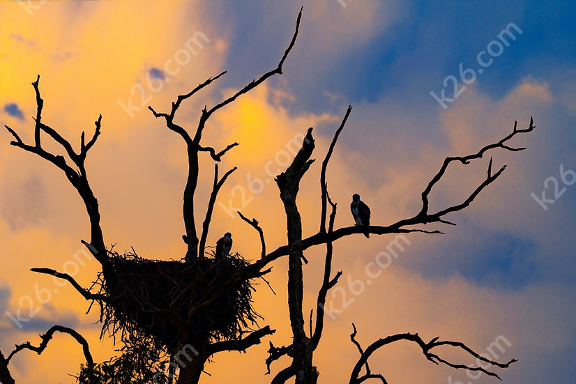 Osprey nest at sunset