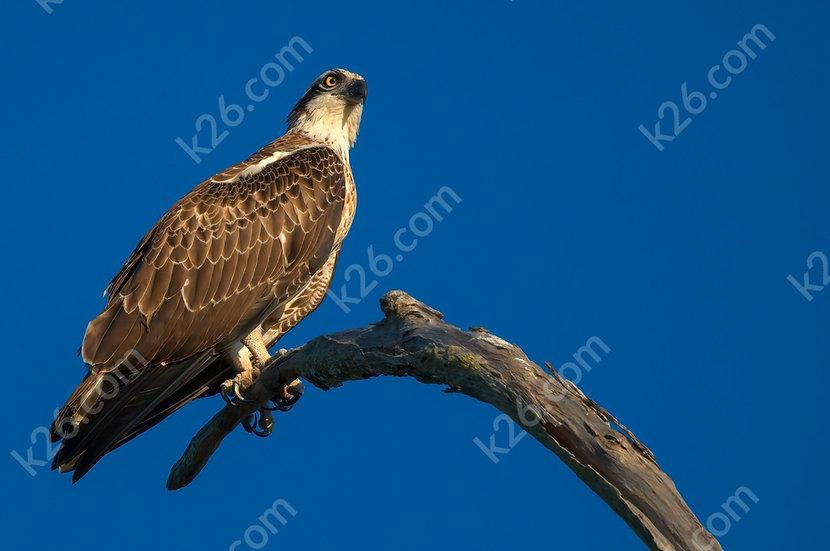 Handsome Eastern Osprey