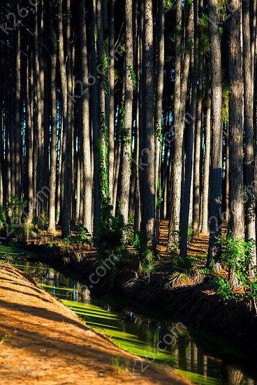 Pizzey park pines