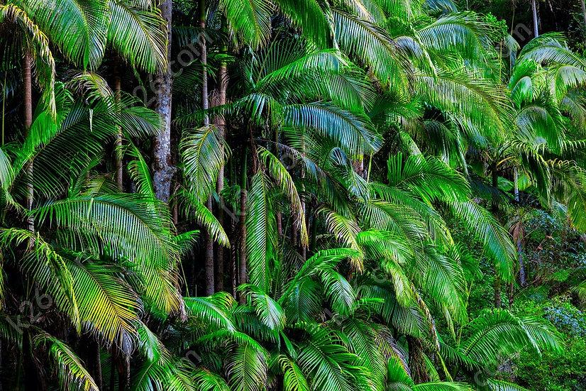 Tallebudgera Valley palms