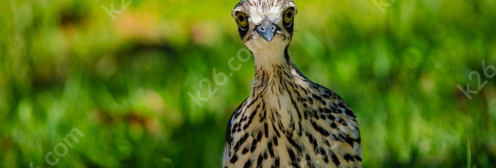 Curious Curlew