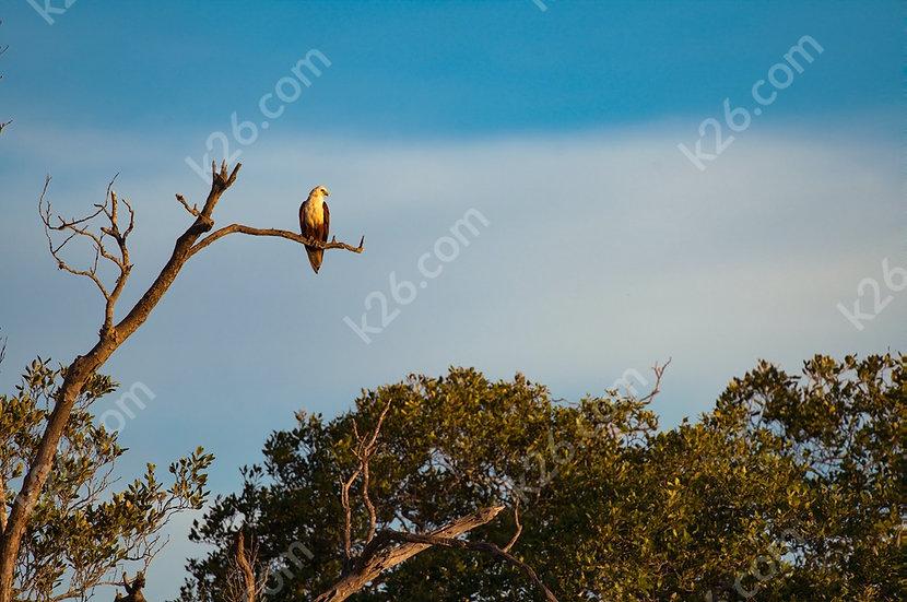 Brahminy Kite resting